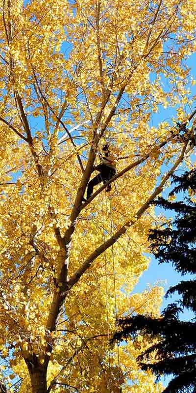 Autumn Prune - Prairie Woodlands Tree Care LTD.