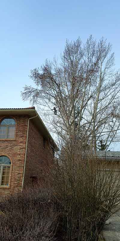 Clearance Pruning - Prairie Woodlands Tree Care LTD.