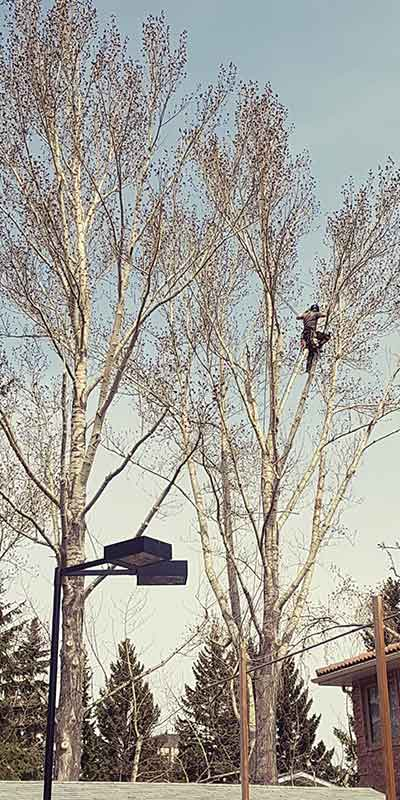 Tree Pruning - Prairie Woodlands Tree Care LTD.