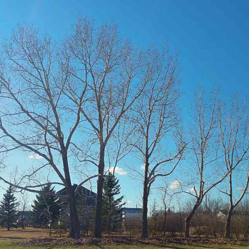 Shelterbelt Pruning - Prairie Woodlands Tree Care LTD.