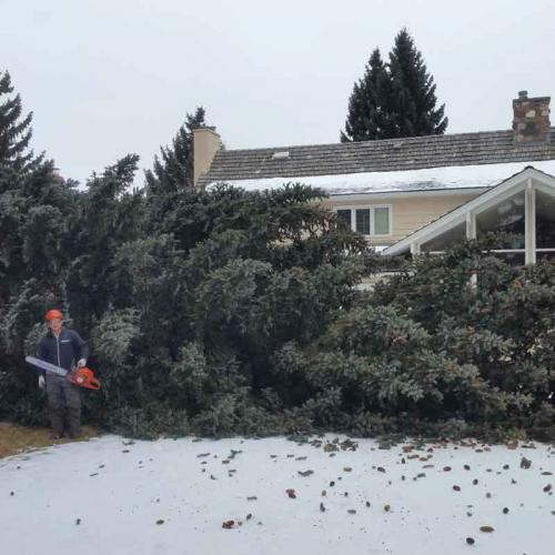 Spruce Fell - Prairie Woodlands Tree Care LTD.